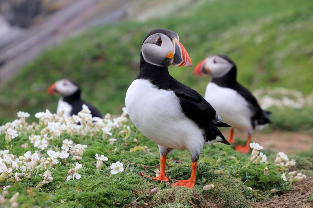 Puffins - Whale Watching Iceland