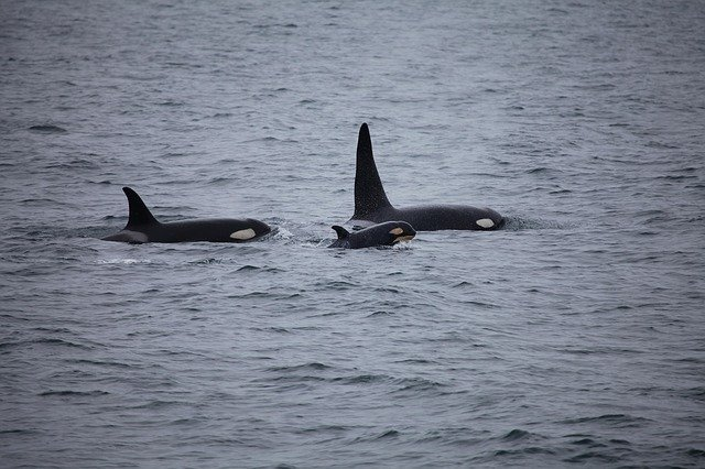 Killer Whales Watching Iceland