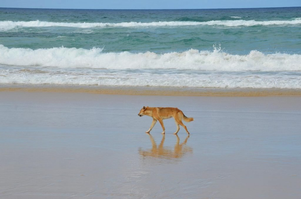Route guide to brisbane and cairns frasers islandDingo on Frasers Island