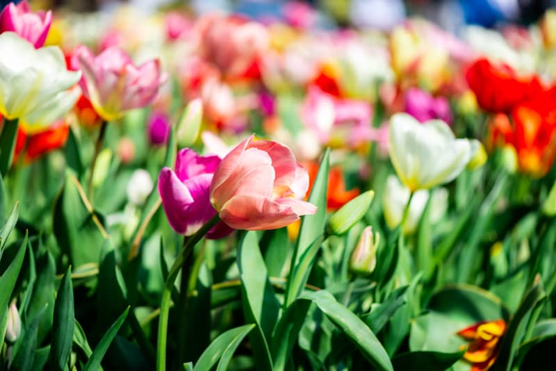 Best time and places to see tulips in the Netherlands