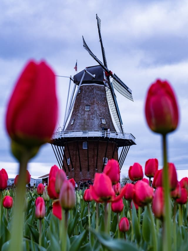 Typical Dutch Landscape: Tulip fields with windmills