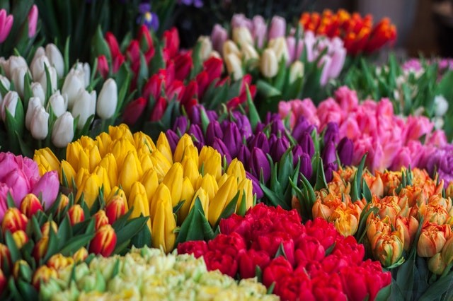 Tulips in the netherlands seasons