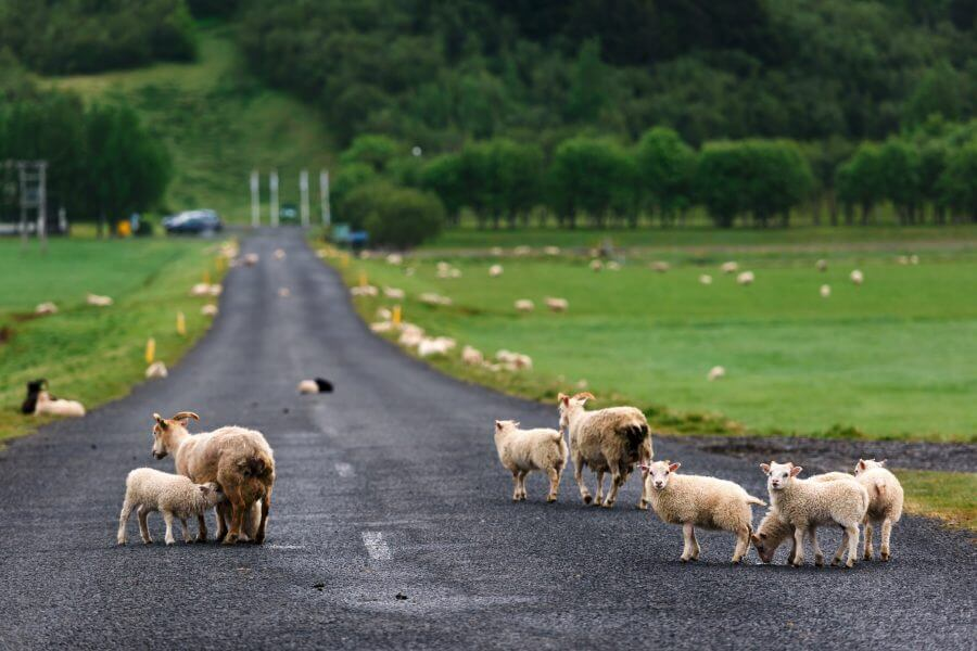 Car rental Iceland Sheep on the track
