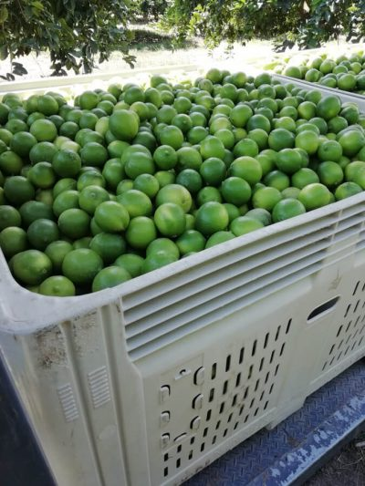 Fruit picking backpackers Australia (1)
