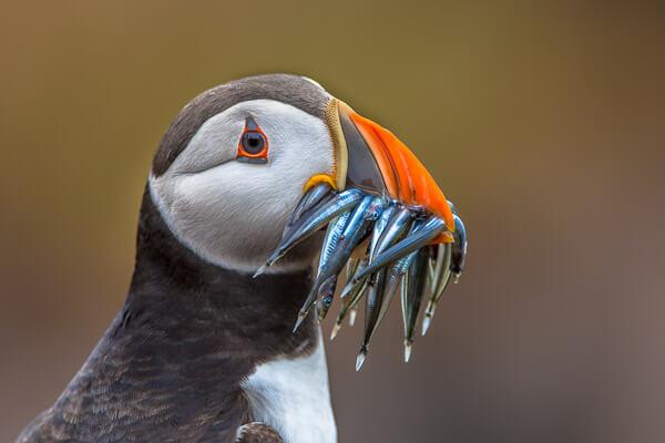 Lots of fish in beak