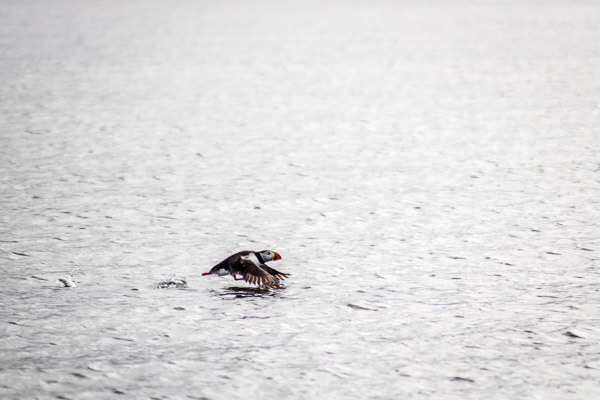 Puffin flying above water