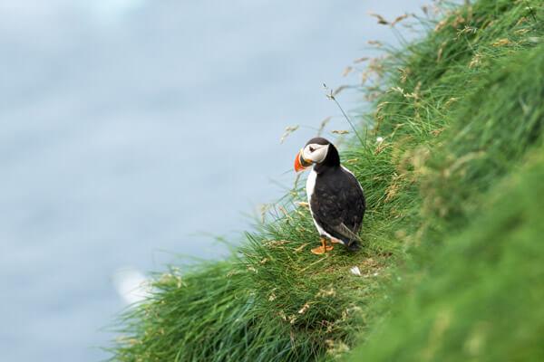 Faroese Puffin