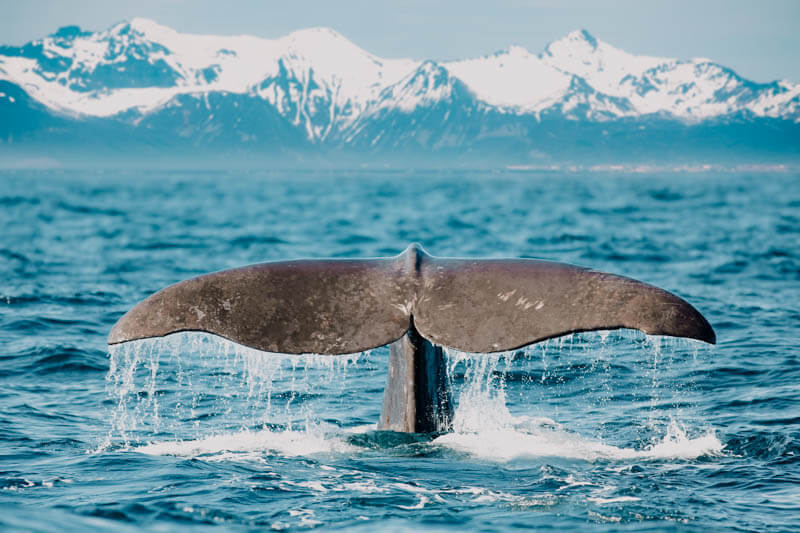 Icelandic Whale Meat
