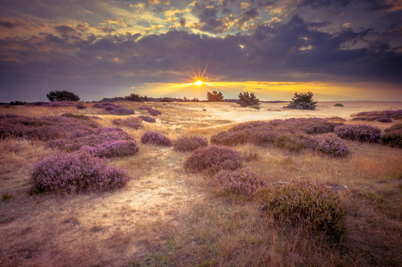Hoge Veluwe - purple fields with sunset