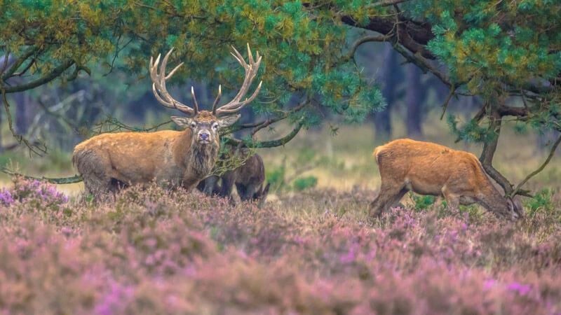 Veluwezoom - Deer in purple fields