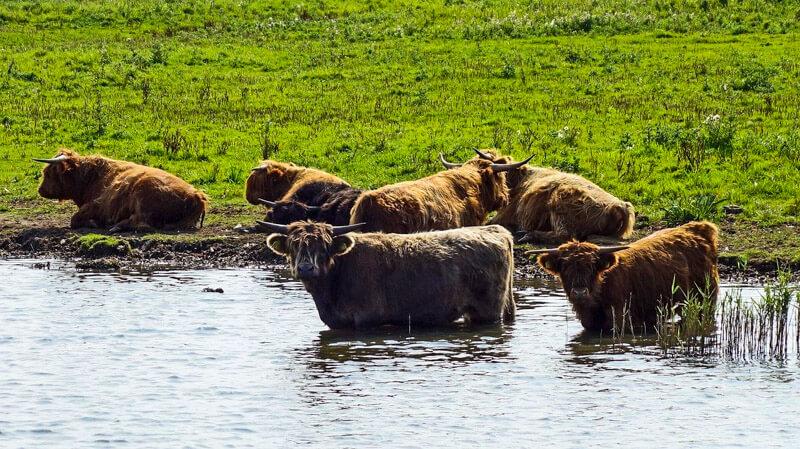 Buffalo's in Zuid Kennemerland