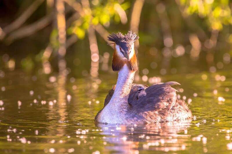 Wildlife in the Biesbosch