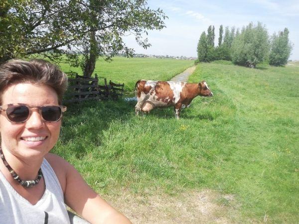 Cow in Netherlands near Utrecht