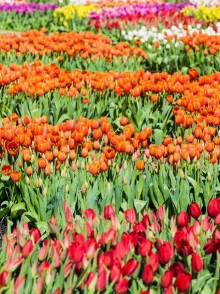 Amsterdam National Tulip Day Netherlands
