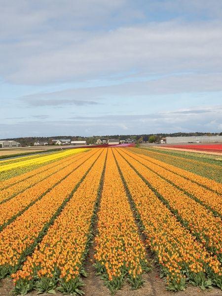 Bollenstreek - Tulip Fields Netherlands