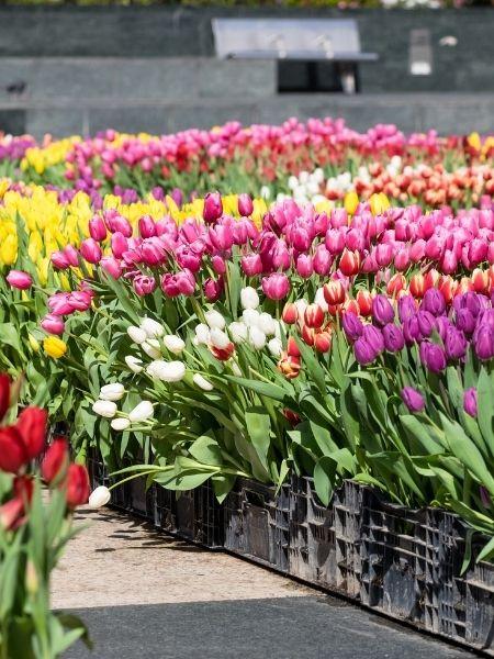 National Tulips Day Netherlands