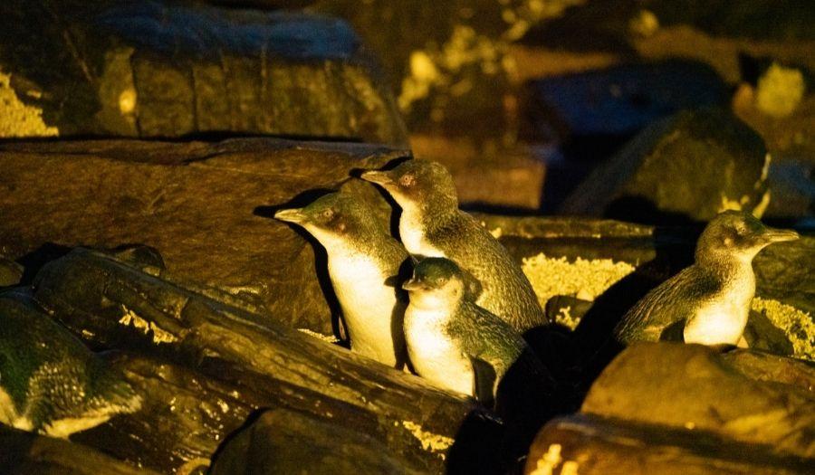 Night Penguins - Tasmania