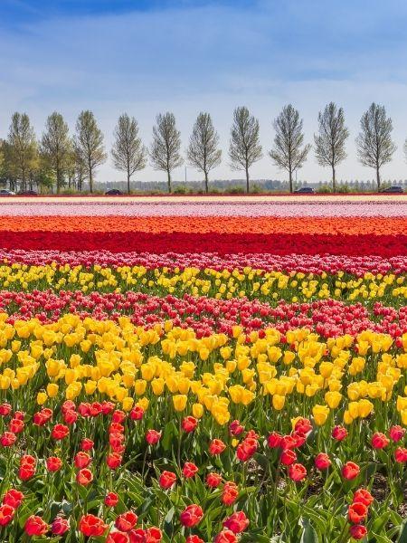 Noordoostpolder - Tulip Fields Netherlands