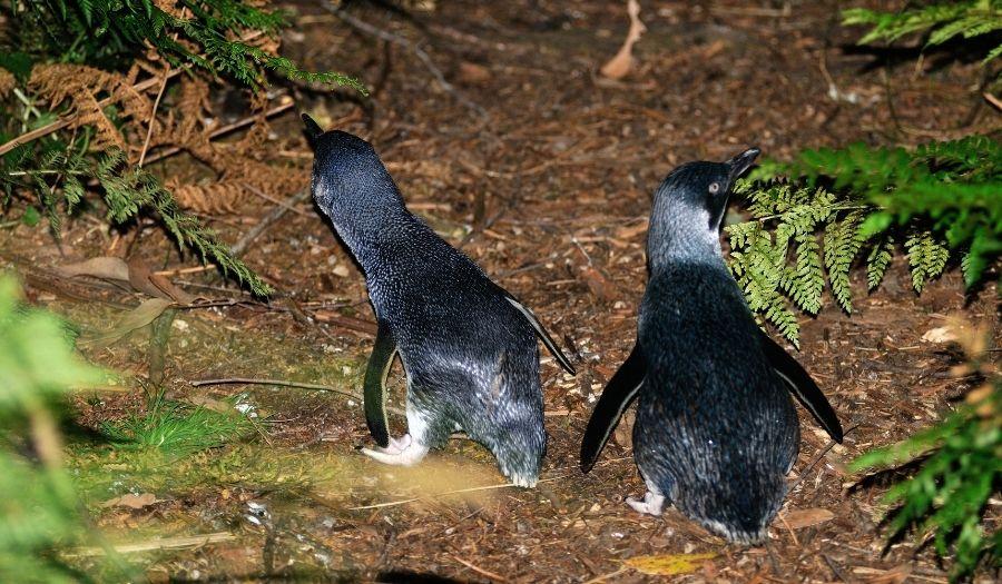 Penguins - Tasmania