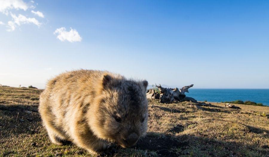 Tasmania - Maria Island