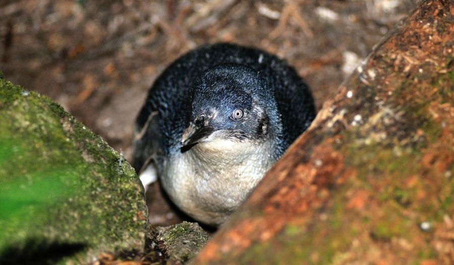 Tasmania - Penguins