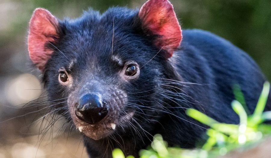 Tasmanian Devil - Australia