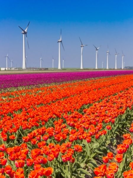 Tulip Fields Netherlands - Noordoostpolder