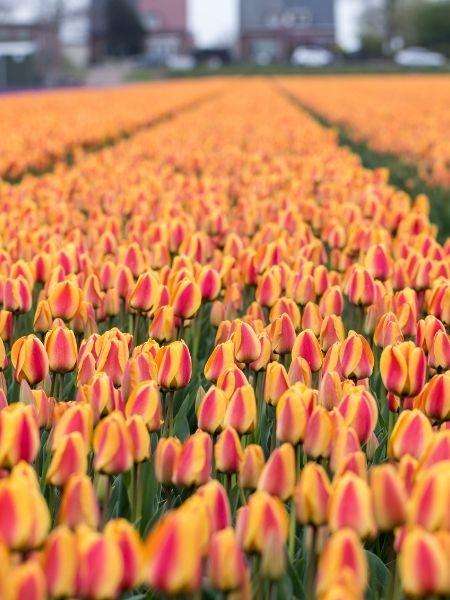 Tulip fields Netherlands - Bollenstreek