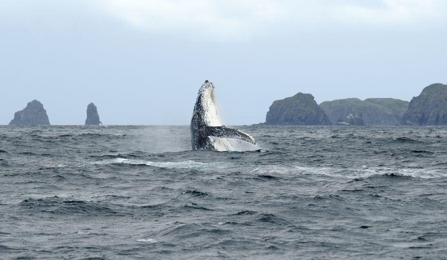 Whale Watching - Tasmania