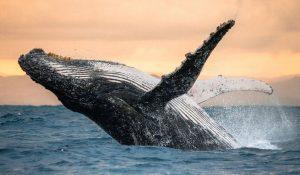 Whales Faroe Island