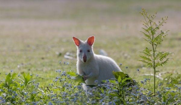 White Bennet's Wallabie - Tasmania