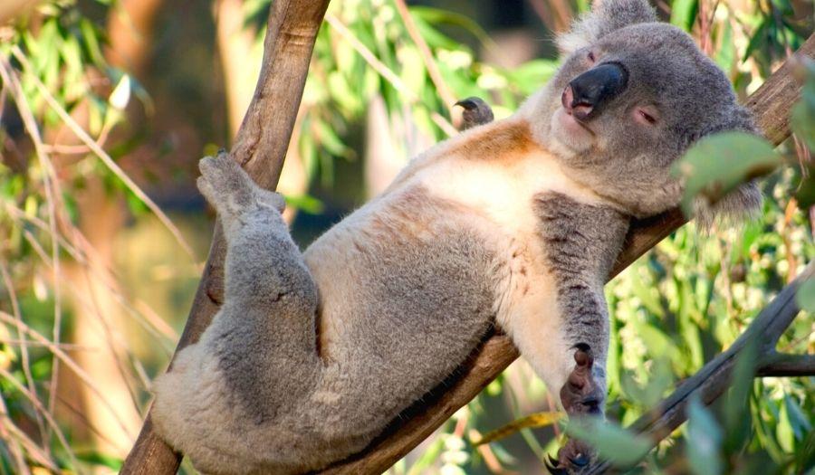 Kennett River Koala Walk - Australia
