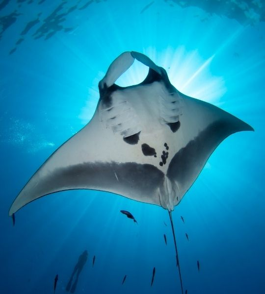 Manta Ray - Snorkeling