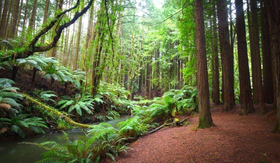 Otway Californian Redwood Forest - Australia